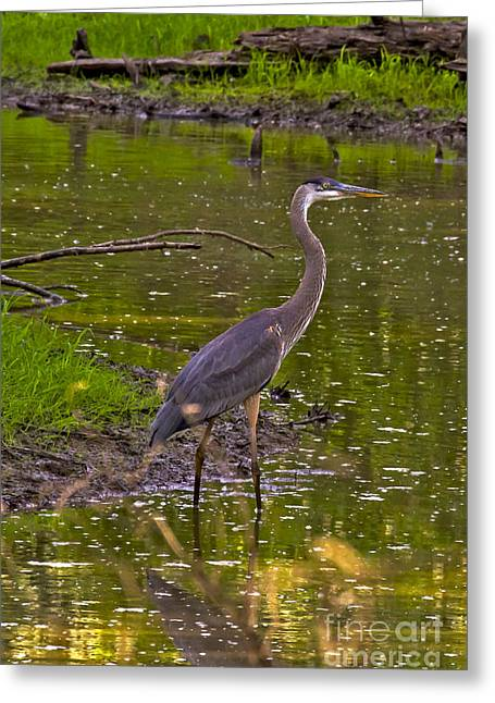Wadding Greeting Cards - Great Blue 2 Greeting Card by Rick Grisolano Photography LLC