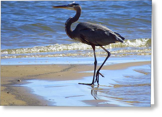 Wadingbird Greeting Cards - Great Blue And Beach Greeting Card by Phyllis Beiser