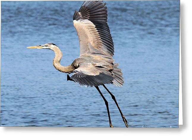 St Joseph Peninsula State Park Greeting Cards - Great Blue Flight Greeting Card by Adam Jewell