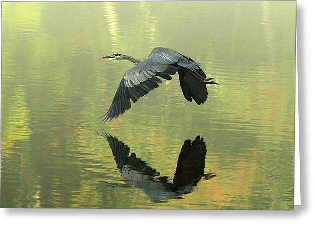 Douglas Stucky Greeting Cards - Great Blue Fly-by Greeting Card by Douglas Stucky