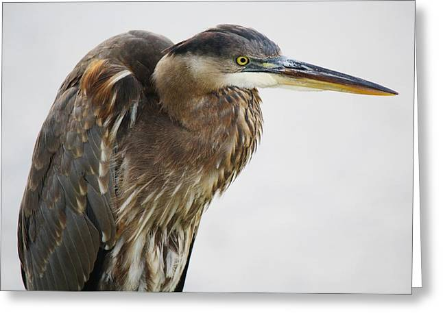 Great Blue Heron - # 14 Greeting Card by Paulette Thomas