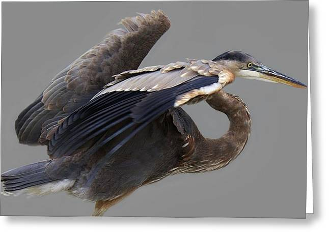 Great Blue Heron - # 4 Greeting Card by Paulette Thomas