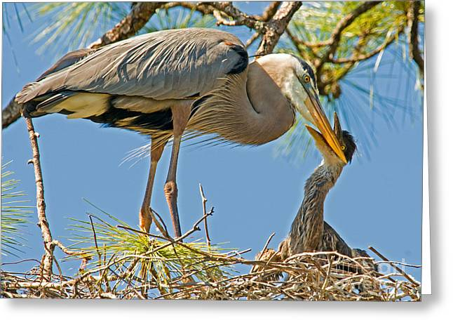 Feeding Young Greeting Cards - Great Blue Heron Adult Feeding Nestling Greeting Card by Millard H. Sharp