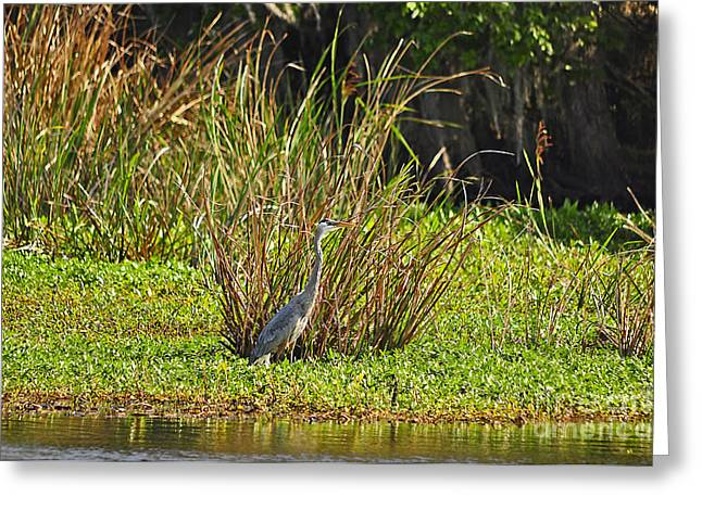 Gray Heron Greeting Cards - Great Blue Heron Greeting Card by Al Powell Photography USA