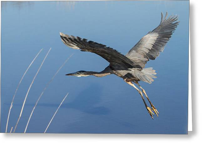 Great Blue Heron And His Shadow Greeting Card by Angie Vogel