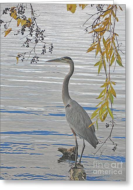 Great Blue Heron Greeting Card by Ann Horn
