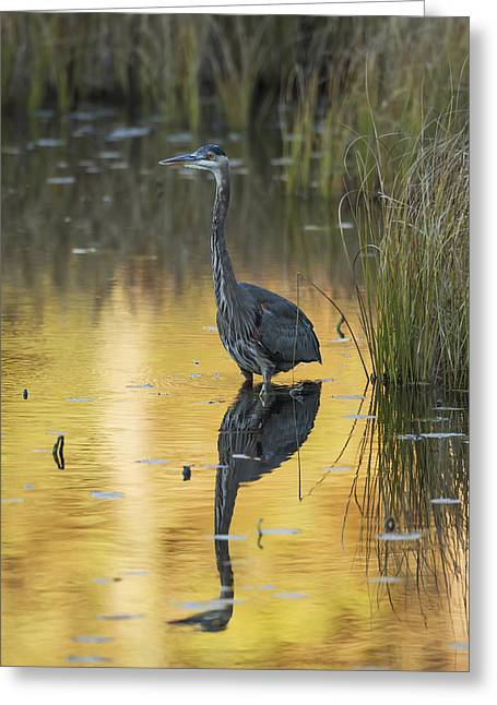 Fishing Creek Greeting Cards - Great Blue Heron Ardea Herodias Fishing Greeting Card by Robert Postma