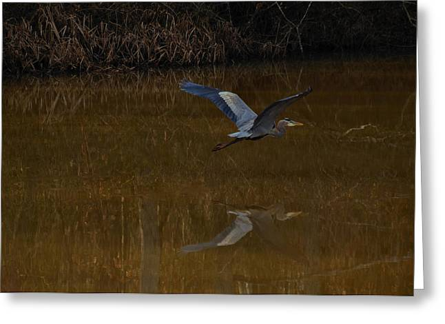 Blue Heron Greeting Cards - Great Blue Heron at Evening - 9395d Greeting Card by Paul Lyndon Phillips