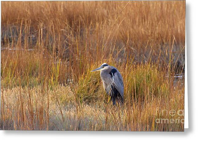 Marsh Greeting Cards - Great Blue Heron At Rest Greeting Card by Cindy Lee Longhini