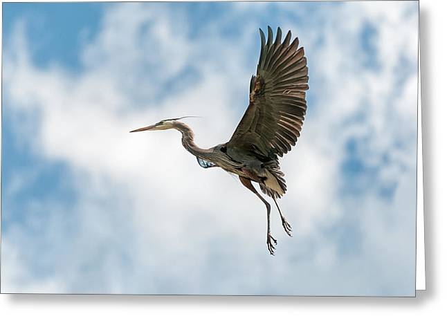 Cvnp Greeting Cards - Great Blue Heron - Bird - Wildlife  Greeting Card by Sharon Norman