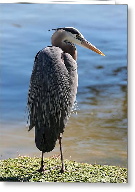Great Blue Heron By Pond Greeting Card by Carol Groenen