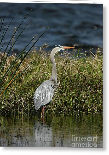 Ardea Greeting Cards - Great Blue Heron Greeting Card by Cindi Ressler