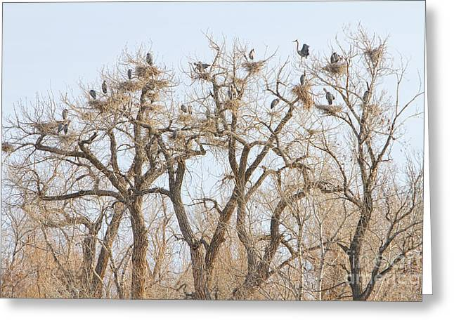 Wildlife Art Acrylic Prints Greeting Cards - Great Blue Heron Colony Greeting Card by James BO  Insogna