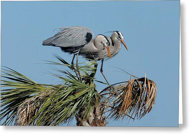 Cooperation Greeting Cards - Great Blue Heron Couple I Greeting Card by Dawn Currie