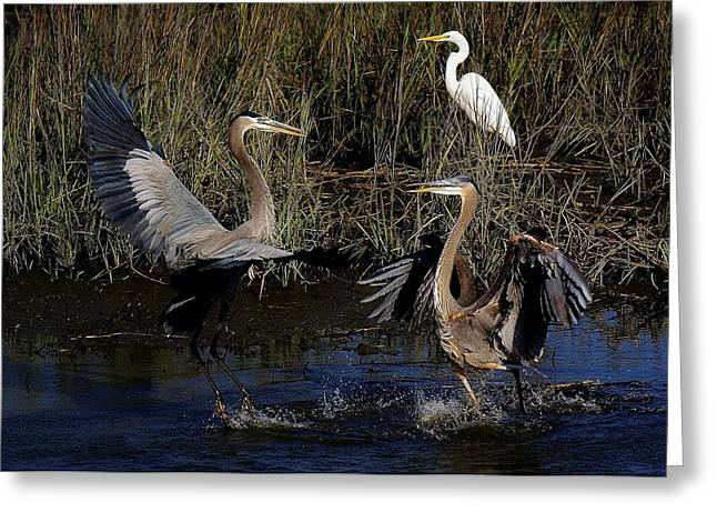 Paulette Thomas Photography Greeting Cards - Great Blue Heron Courtship Greeting Card by Paulette Thomas