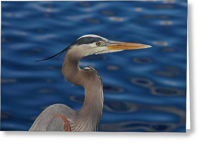 Wildlife Celebration Greeting Cards - Great Blue Heron Greeting Card by Denise Mazzocco