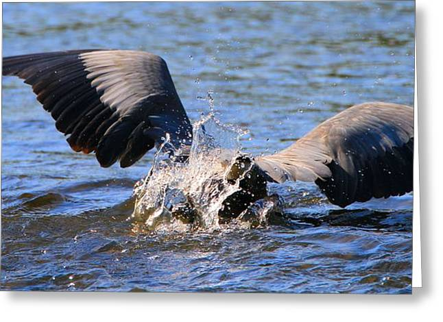 D Wade Greeting Cards - Great Blue Heron Dive Greeting Card by Dan Sproul