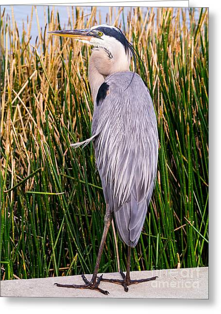 Fort Meyers Greeting Cards - Great Blue Heron Greeting Card by Edward Fielding