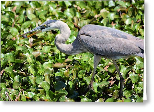 Great Blue Heron Framed Print Greeting Cards - Great Blue Heron Fish Lunch 1 Greeting Card by Sheri McLeroy
