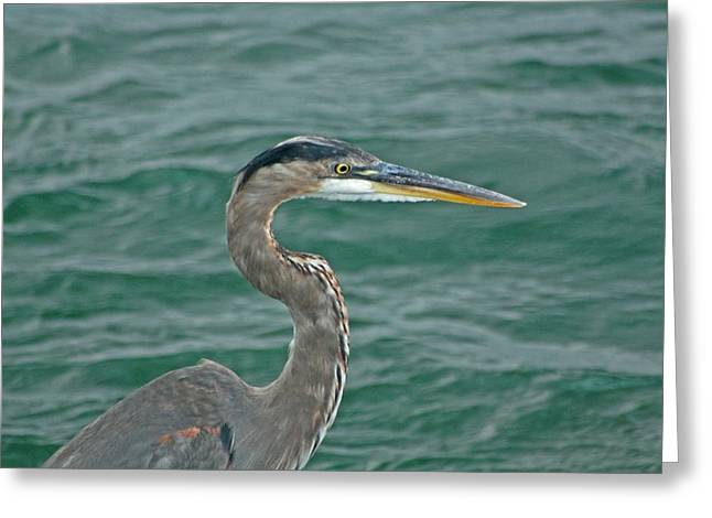 Seabirds Digital Art Greeting Cards - Great Blue Heron Greeting Card by Gothicolors Donna Snyder