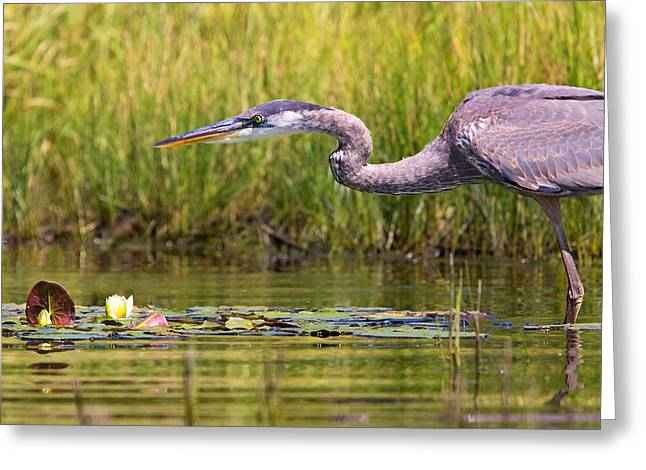 Lilly Pads Greeting Cards - Great Blue Heron Hunting Greeting Card by Stephanie McDowell