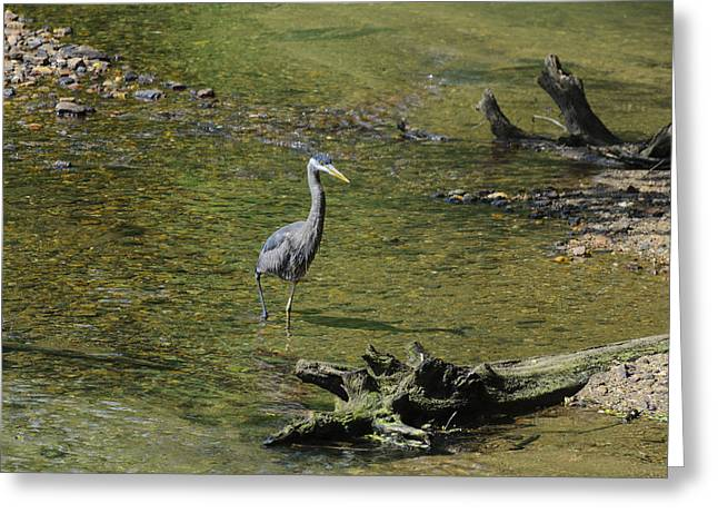 Pelicaniformes Greeting Cards - Great Blue Heron in Chattahoochee River Greeting Card by Steve Samples