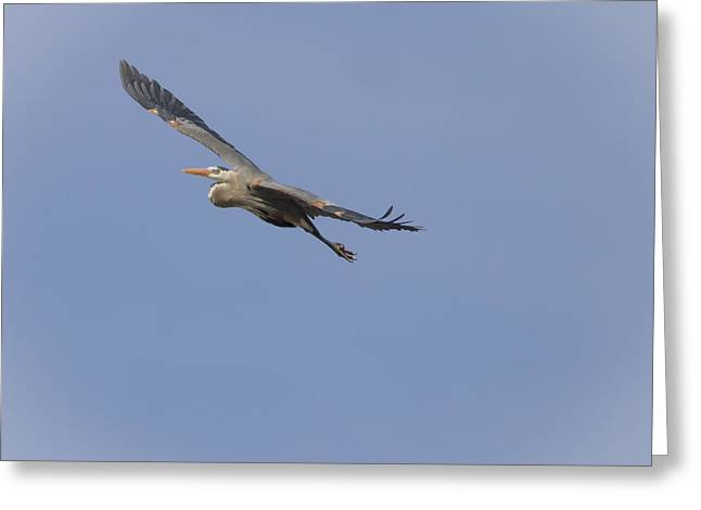 Thomas Young Greeting Cards - Great Blue Heron in Flight-2 Greeting Card by Thomas Young
