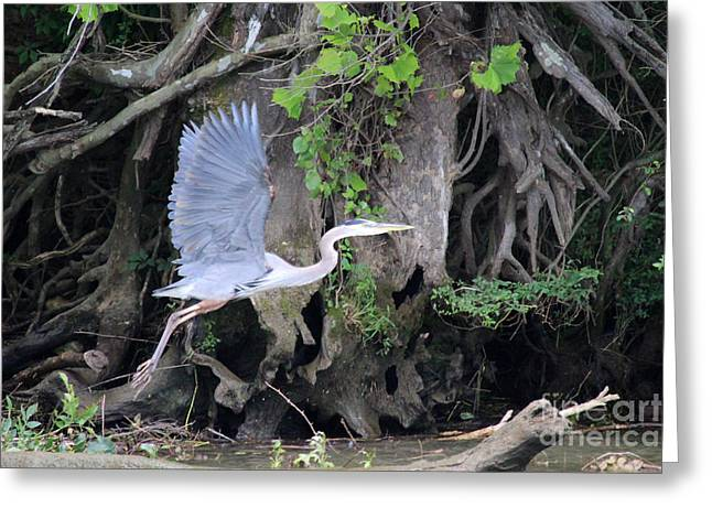 Gnarly Greeting Cards - Great Blue Heron in Flight Greeting Card by Jemmy Archer