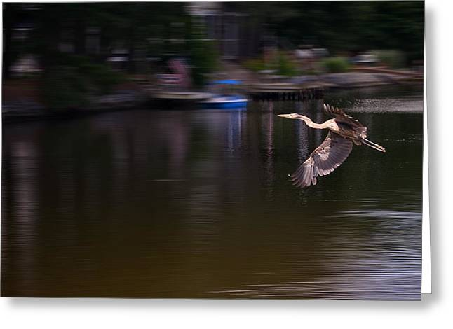 Great Blue Heron Greeting Cards - Great Blue Heron in Flight Greeting Card by Kim Bemis