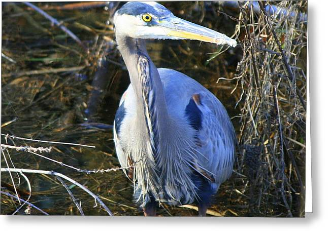 Natures Photos Greeting Cards - Great Blue Heron in Square Greeting Card by Neal  Eslinger