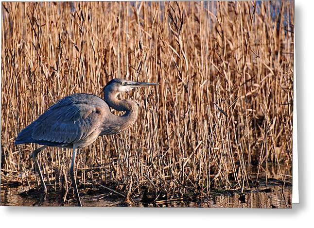 Nature Center Pond Greeting Cards - Great Blue Heron in Swamp Greeting Card by Francie Davis