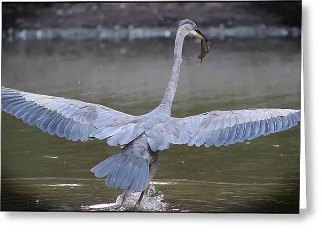 Flying Frog Greeting Cards - Great Blue Heron Inflight with Frog Greeting Card by DJE  Photography