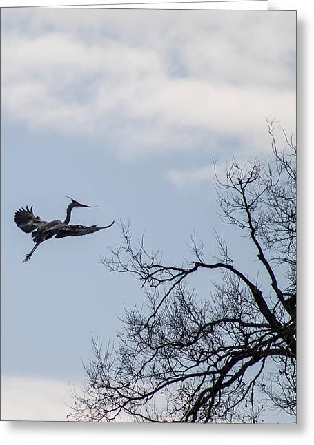 Legs Spread Greeting Cards - Great Blue Heron Greeting Card by James Drake