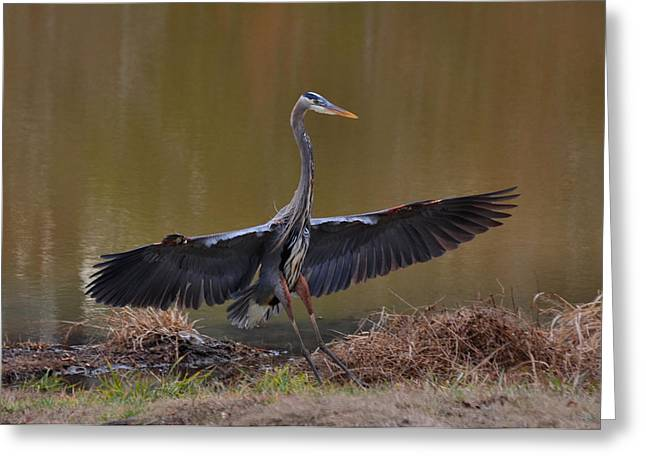 Waterfowl Greeting Cards - Great Blue Heron landing airplane style -9911k      Greeting Card by Paul Lyndon Phillips