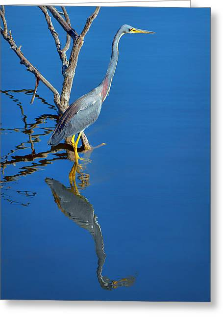 Egretta Tricolor Greeting Cards - Tricolored Heron Greeting Card by Nikolyn McDonald