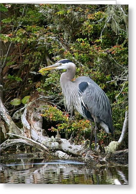 Herodias Greeting Cards - Great Blue Heron on Log Greeting Card by Randall Ingalls