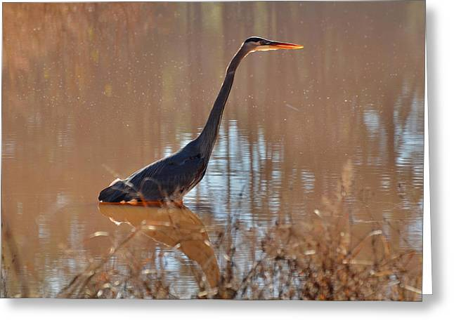 Waterfowl Greeting Cards - Great Blue Heron on watch - 3185c Greeting Card by Paul Lyndon Phillips