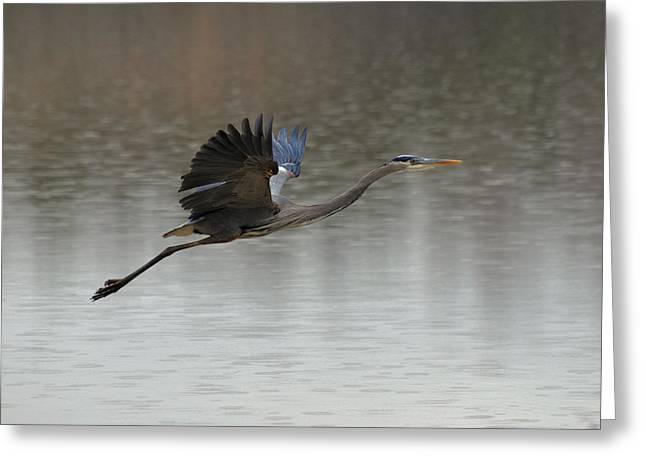 Crane Greeting Cards - Great Blue Heron over Rainy Pond - c1118c Greeting Card by Paul Lyndon Phillips