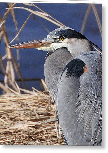 Great Birds Pyrography Greeting Cards - Great Blue Heron portrait  Greeting Card by Hella Zaiser
