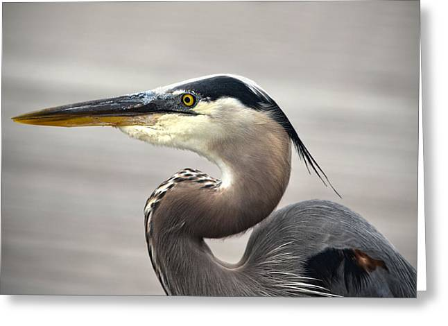 Sandi Oreilly Greeting Cards - Great Blue Heron Portrait Greeting Card by Sandi OReilly