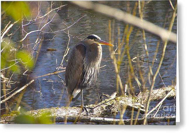 Tidal Photographs Greeting Cards - Great Blue Heron Greeting Card by Sean Griffin