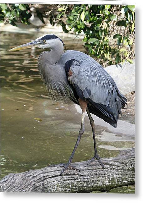 Great Birds Pyrography Greeting Cards - Great Blue Heron Greeting Card by Shoal Hollingsworth