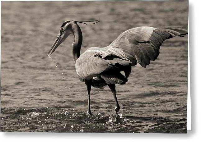 D Wade Greeting Cards - Great Blue Heron Splash Greeting Card by Dan Sproul