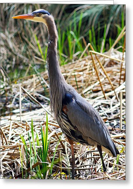 Herodias Greeting Cards - Great Blue Heron Standing Tall Greeting Card by Terry Elniski