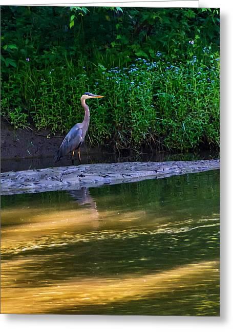 Great Birds Greeting Cards - Great Blue Heron Greeting Card by Steve Harrington