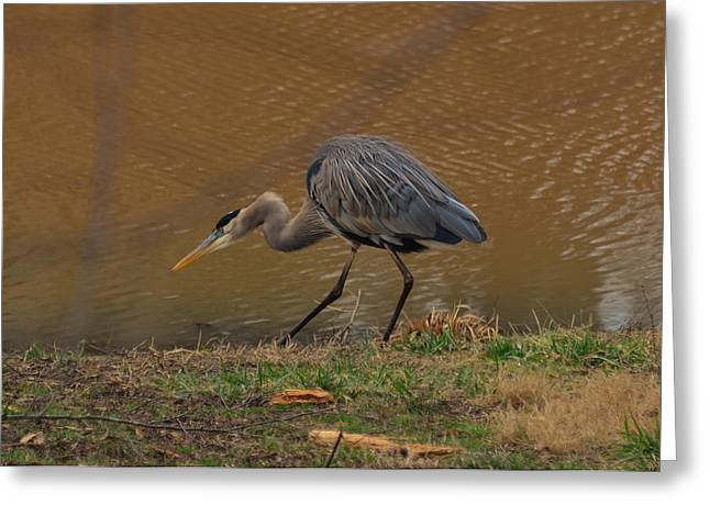 Crane Greeting Cards - Great Blue Heron Striking - 9216c Greeting Card by Paul Lyndon Phillips