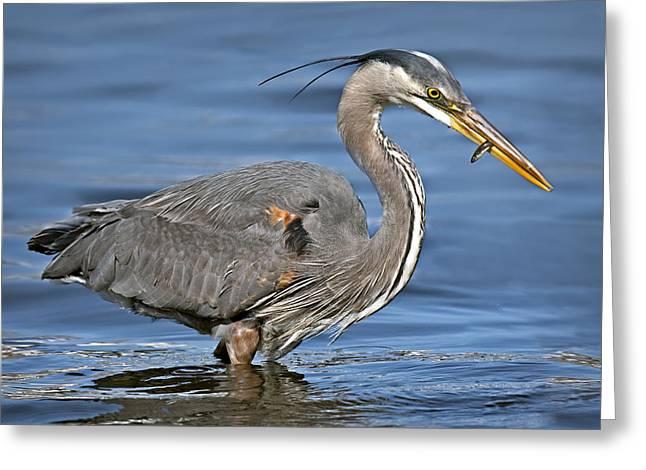 Feeding Birds Greeting Cards - Great Blue Heron Greeting Card by Susan Candelario