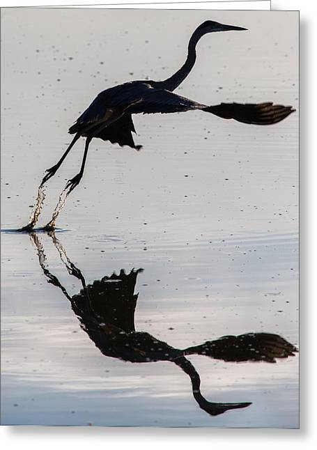 John Daly Greeting Cards - Great Blue Heron Takeoff Greeting Card by John Daly