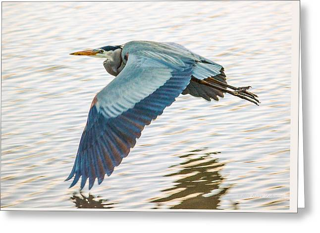 Marin County Greeting Cards - Great Blue Heron Taking Flight Greeting Card by Brian Tada