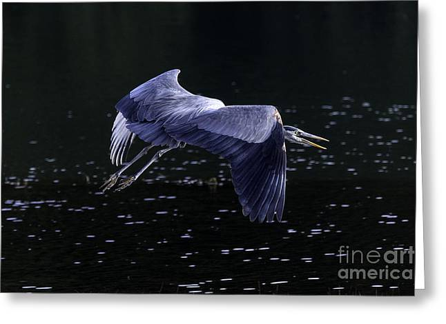 Tim Moore Greeting Cards - Great Blue Heron Greeting Card by Tim Moore